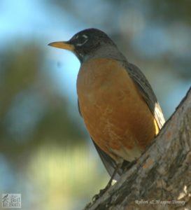 howto attract robins to your garden