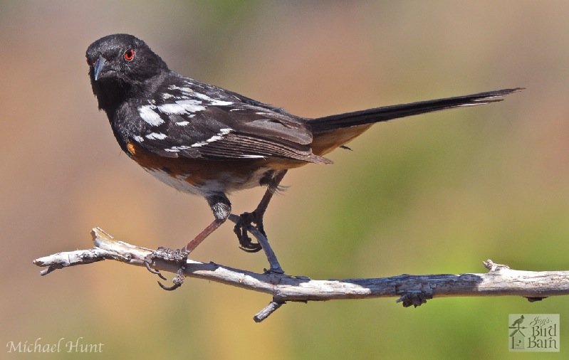 spotted-towhee-fixed1.jpg